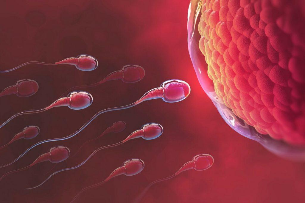 Яйцаклетку апладняе не самы хуткі, а самы спелы сперматазоід. Ці можна павысіць спеласць спермы?