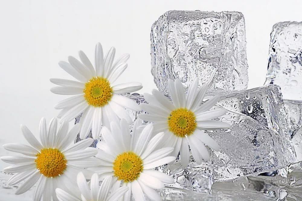 Філімонаў дзень. Кубікі лёды з мінералкі з рамонкам.