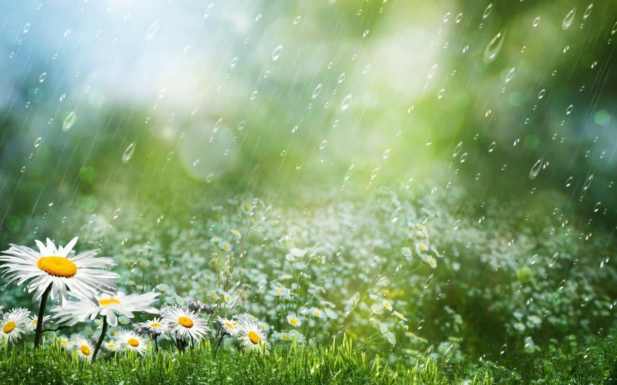 Варажба. Рамонкавае поле пад дажджом.