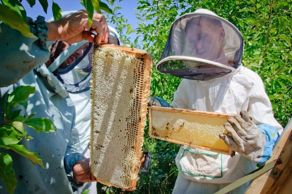 Прачыстая. Першая Прачыстая. Адкатка мёду.