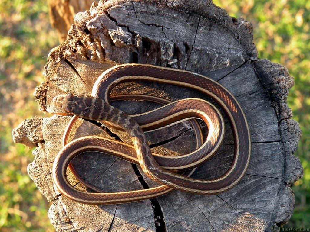 Узвіжанне. Змеі разам спаўзаюцца.
