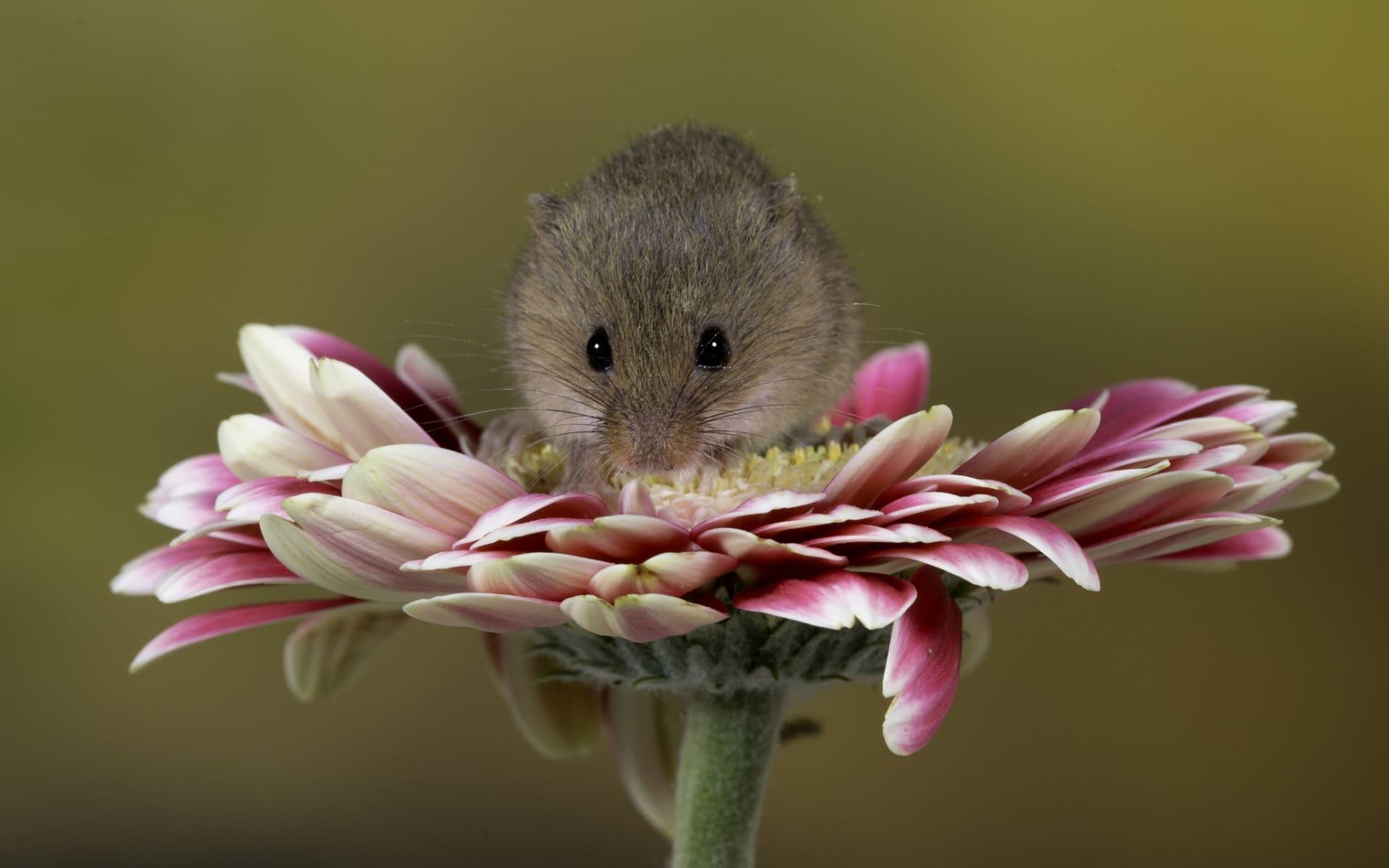 Пранцішак. Мышка палявая шукае зярнятак.