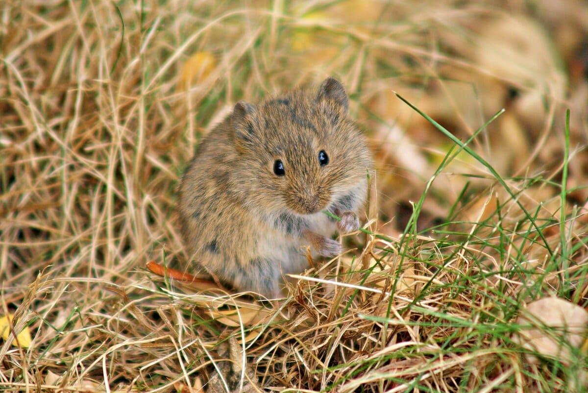 Пранцішак. 4 кастрычніка. На Пранцішка зярнят шукае ў полі мышка.