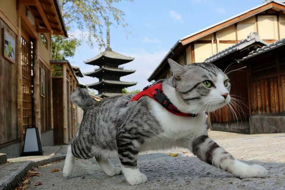 Вясна. Свята катоў у Японіі.