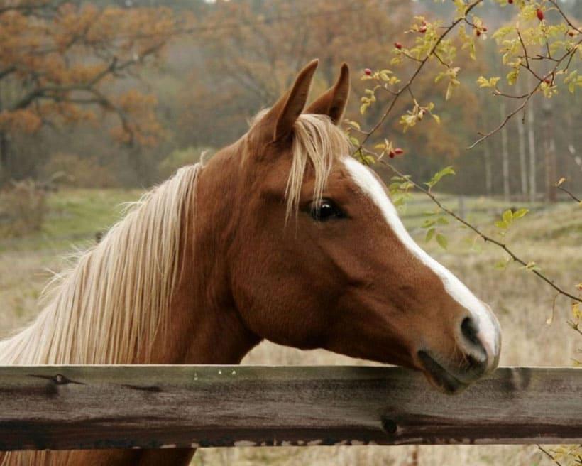 Конь. Конь Буян дуаме пра гушканне на арэлях.