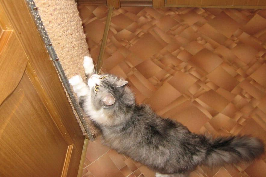 Хатнія гадаванцы. Котка ад валанцёраў.
